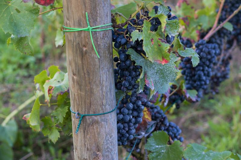 Wijngaard druiven
