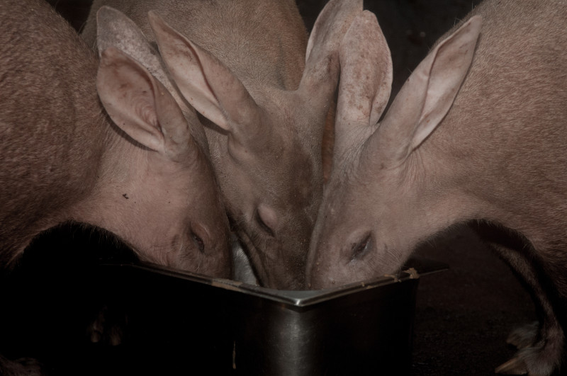 Burgers Zoo Aardvarkens groot